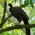 CRESTED GUAN, Playa Nicuesa